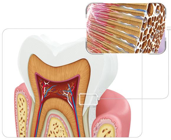 Ipersensibilità dentale struttura del dente